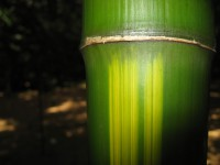 Gelber Furchen Bambus, Phyllostachys vivax 'Huangwenzhu'