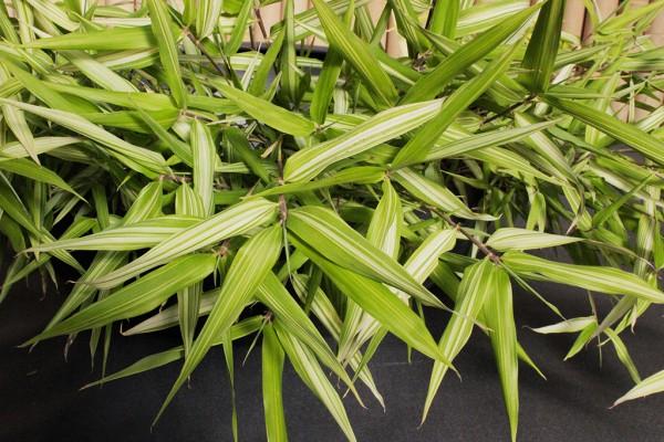 Gestreifter schwarzer Bambus, Phyllostachys Nigra aureo variegata