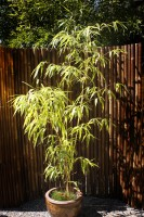 Grüner Furchen Bambus, Phyllostachys vivax 'Huangwenzhu' Inversa