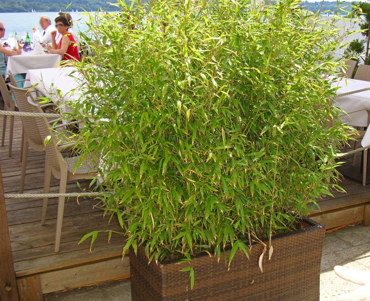 das wachstum und die h he von bambus bambus wissen was ist bambus bambus und pflanzenshop. Black Bedroom Furniture Sets. Home Design Ideas