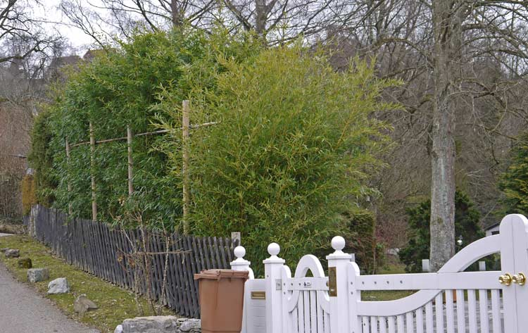 phyllostachys-bissetii-hecke-bambuswald-1517edc2d0c75a