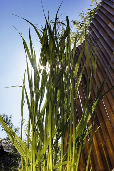 Riesen Rutenhirse, Panicum virgatum Nordwind