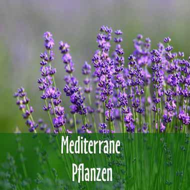 MediterranePflanzen für den Garten