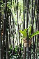 Schwarzer Bambus, Phyllostachys nigra