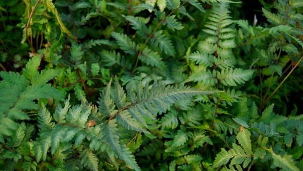 Athyrium niponicum, Regenbogenfarn