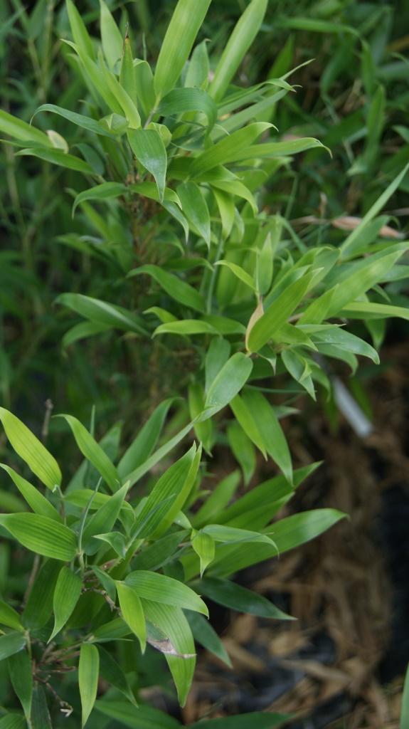phyllostachys heteroclada wasserbambus bambus und pflanzenshop. Black Bedroom Furniture Sets. Home Design Ideas