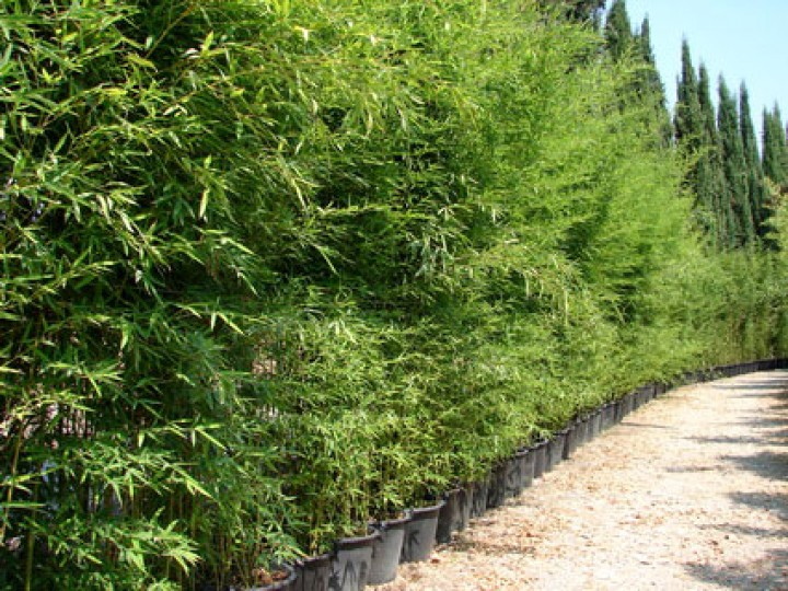 phyllostachys aurea goldrohr bambus. Black Bedroom Furniture Sets. Home Design Ideas