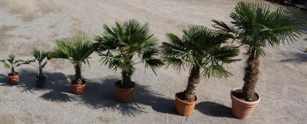Winterharte Hanfpalme, Trachycarpus fortunei