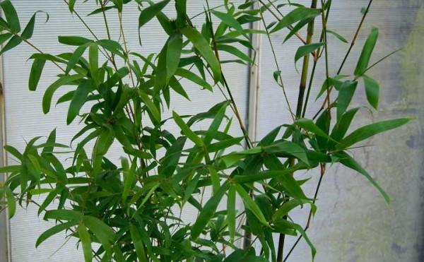 Zimmerbambus, Bambusa ventricosa `Kimmei`