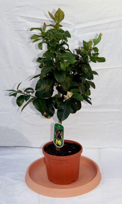citrus limon zitronenpflanze citrus pflanzen garten. Black Bedroom Furniture Sets. Home Design Ideas
