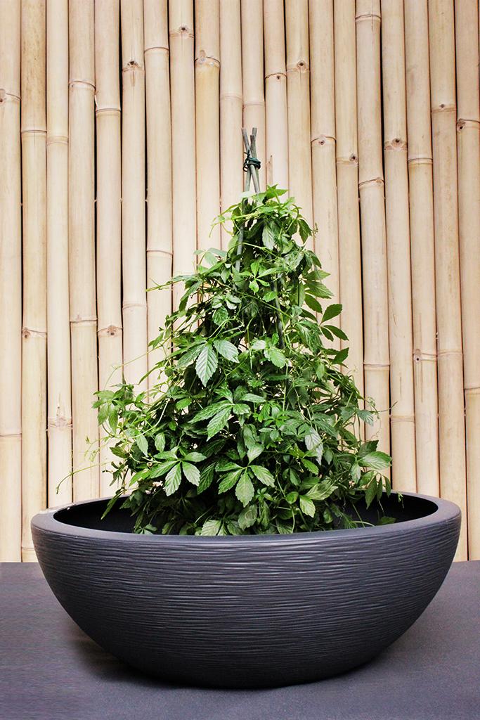 jiaogulan kraut der unsterblichkeit bambus und pflanzenshop. Black Bedroom Furniture Sets. Home Design Ideas