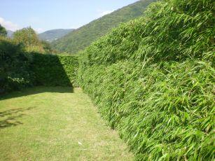 bambus will hoch hinaus und nicht zu den nachbarn. Black Bedroom Furniture Sets. Home Design Ideas