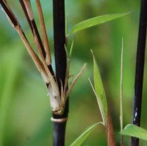 Schwarzer Schirmbambus, Fargesia nitida 'Black Pearl'