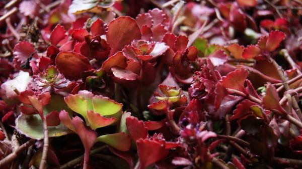 Rotes Teppich-Fettblatt, Sedum spurium 'Fuldaglut'