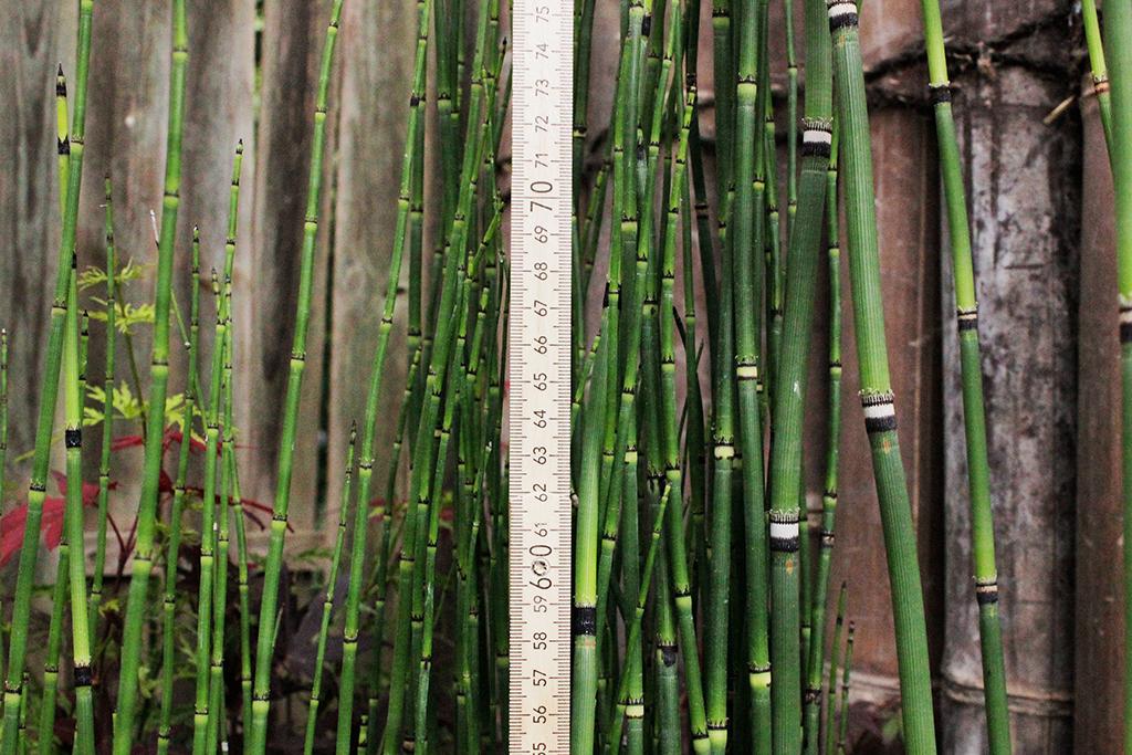 Equisetum Hyemale Var Robustum Riesenschachtelhalm Bambus Und