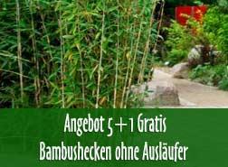 bambus kaufen bambuspflanzen als sichtschutz bambus und pflanzenshop. Black Bedroom Furniture Sets. Home Design Ideas