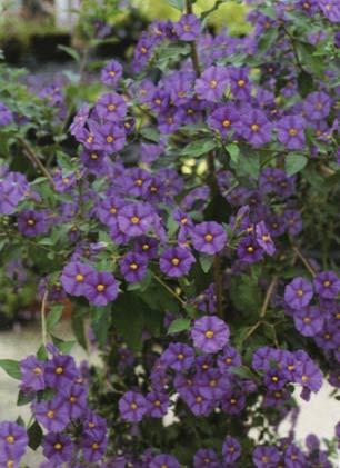 Solanum rantonnetii - Enzianstrauch