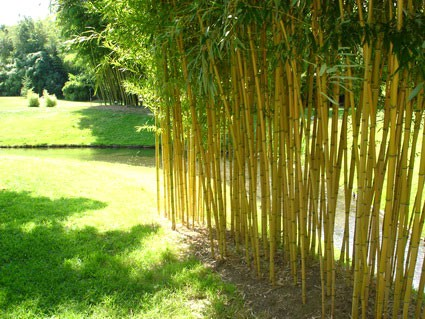 phyllostachys aureosulcata 39 aureocaulis 39. Black Bedroom Furniture Sets. Home Design Ideas