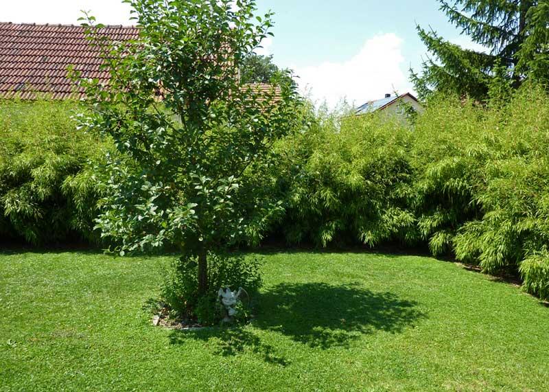Gartenbambus Fargesia Rufa Bambus Und Pflanzenshop