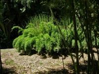 Fargesia denudata 'Lancaster', Panda Bambus