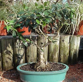 kleiner olivenbaum bonsaiartig gewachsen mediterrane pflanzen bambuswald bambus und. Black Bedroom Furniture Sets. Home Design Ideas