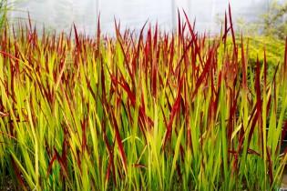 Japanisches Blutgras, Imperata cylindrica 'Red Baron'