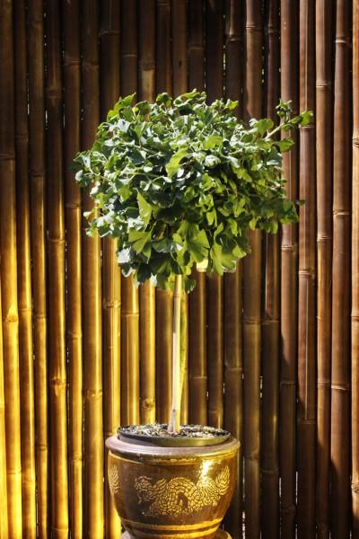 Fächerblattbaum - Ginkgo biloba 'Mariken'
