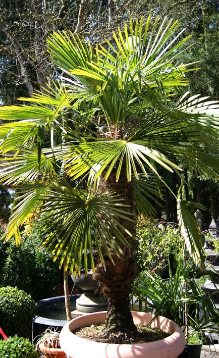 trachycarpus-fortunei-bambuswald-1511a3376c9364