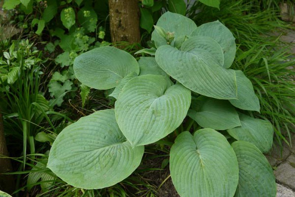 Große Graublatt-Funkie, Hosta nigrescens 'Krossa Regal'