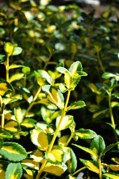 Euonymus fortunei 'Coloratus', Kriechspindelstrauch