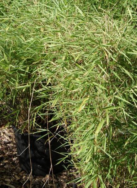 bambustrocken150fc0ab278451