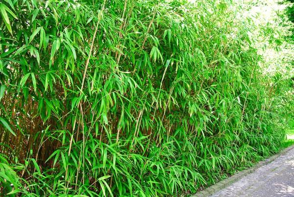 Pfeil Bambus, Pseudosasa japonica