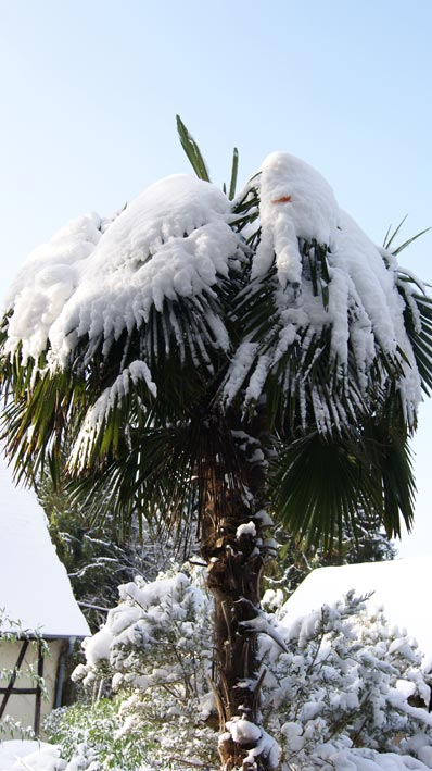 trachycarpus-fortunei-hanfpalme-schnee511a3374e2595