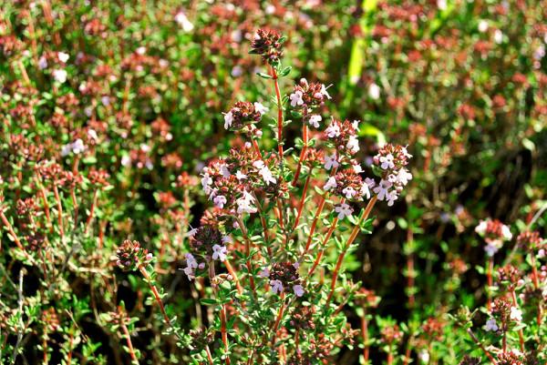 Zwergthymian, Thymus vulgaris 'Compactus'