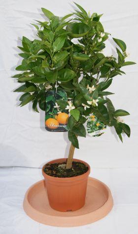 citrus sinensis orange citrus pflanzen garten. Black Bedroom Furniture Sets. Home Design Ideas