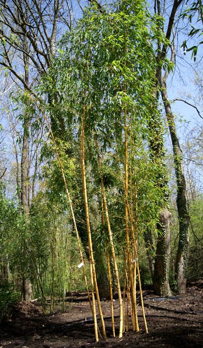 phyllostachys-vivax-aureocaulis-bambuswald-350e5989584a5a50fad444b7154
