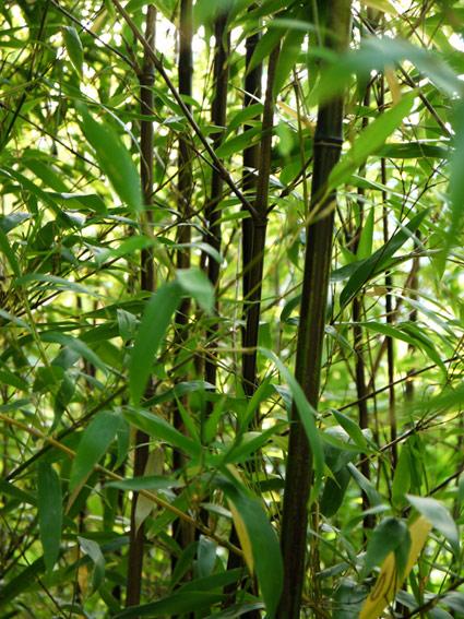 bambuswald-phyllostachys-nigra-201150e58e4e7d2ac50f97481cede7