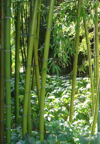 Phyllostachys decora, Schöner Bambus