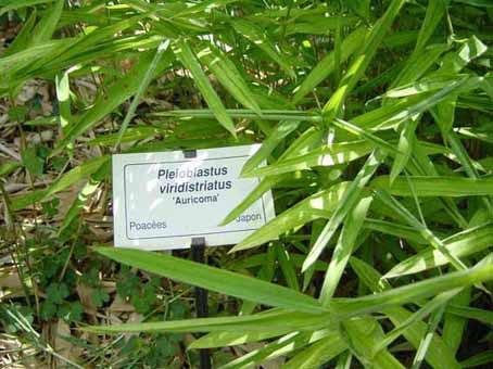Pleioblastus viridistriatus