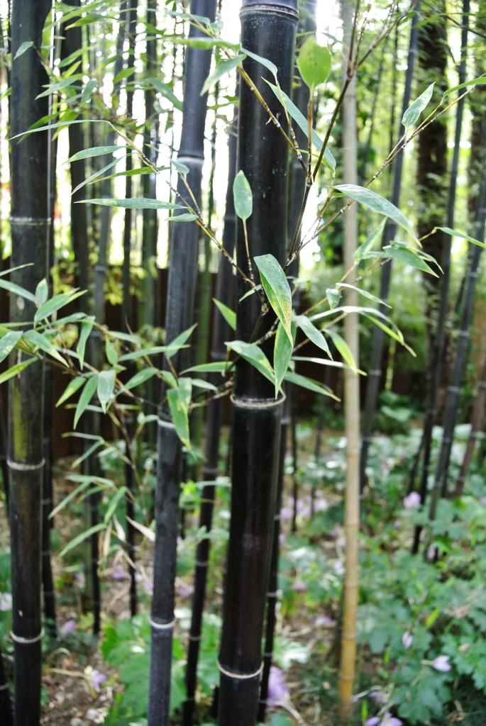 Phyllostachys Nigra Schwarzrohrbambus Bambus Und Pflanzenshop