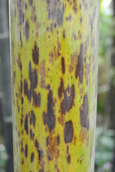 Tigerfleckenbambus, Phyllostachys nigra 'Boryana'