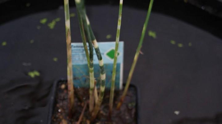 Scirpus Tabernaemontani Zebrinus Scirpus Tabernaemontani 39