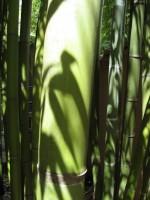 Gold Haar Bambus, Phyllostachys nigra 'Henonis'
