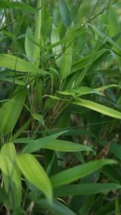 Wasserbambus, Phyllostachys heteroclada