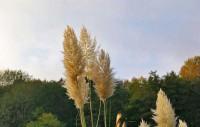 Kleines Pampasgras 'Pumila', Cortaderia selloana 'Pumila'