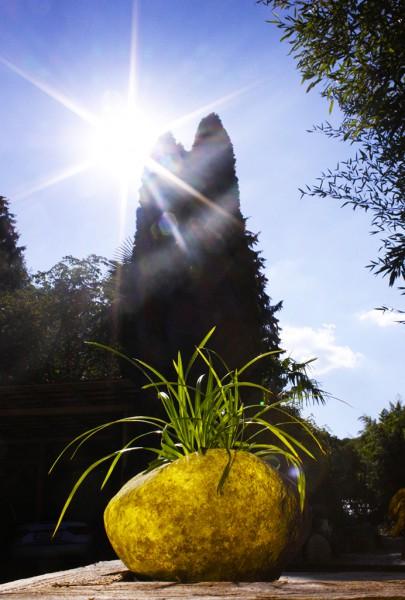Japanische Segge - Carex morrowii
