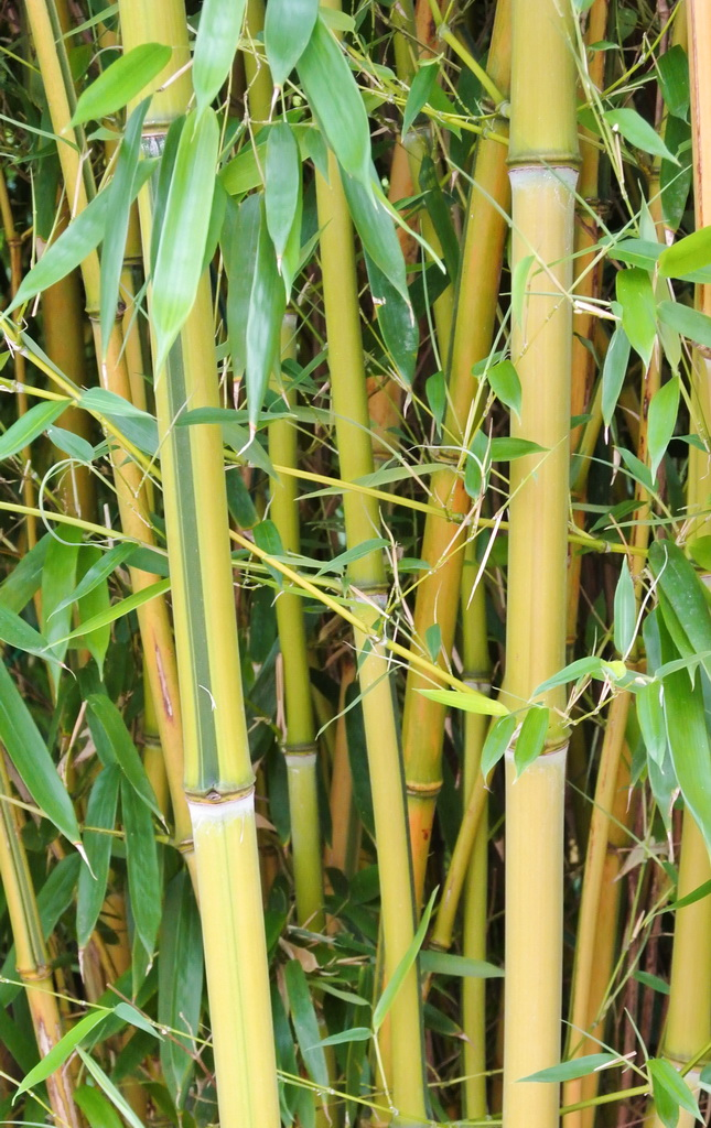 gartenbambus phyllostachys aureosulcata 39 spectabilis. Black Bedroom Furniture Sets. Home Design Ideas