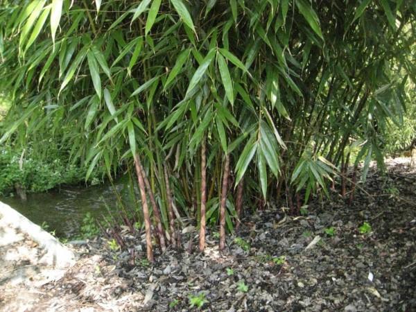 gartenbambus fargesia robusta 39 wolong 39 bambus und pflanzenshop. Black Bedroom Furniture Sets. Home Design Ideas