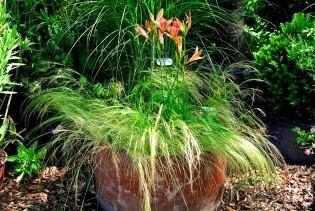 Zartes Federgras, Stipa tenuissima ´Pony Tails`