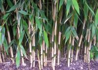 bambus kaufen bambuspflanzen als sichtschutz bambus. Black Bedroom Furniture Sets. Home Design Ideas